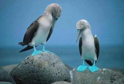 blue-footed-boobies-on-the-rock-near-ocean