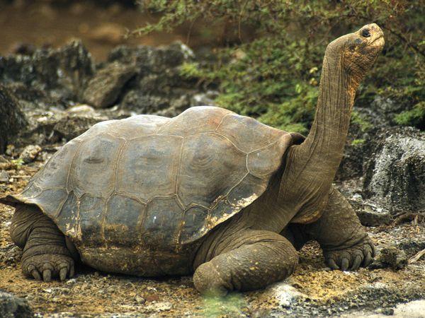 galapagos-tortoise_532_600x450
