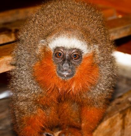 endemic-species-of-monkeys-in-ecuador