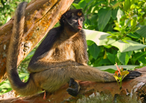 endemic-species-of-monkeys-in-ecuador